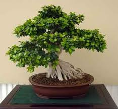 Ficus bonsai articoli sul web for Vasi bonsai giapponesi